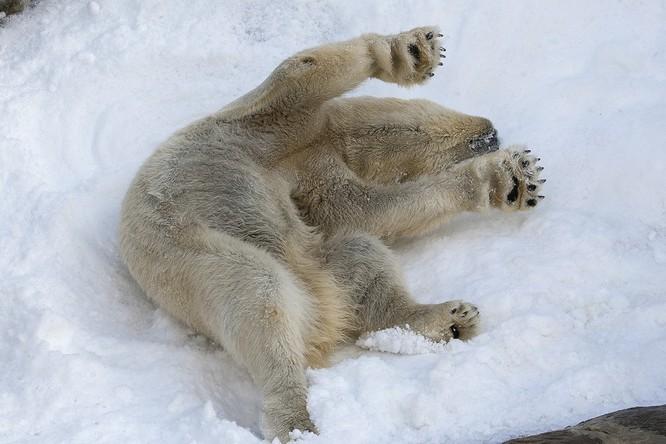 Chùm ảnh cảm động của chú gấu bắc cực tại Sở thú San Diego lần đầu tiên nhìn thấy tuyết ảnh 9