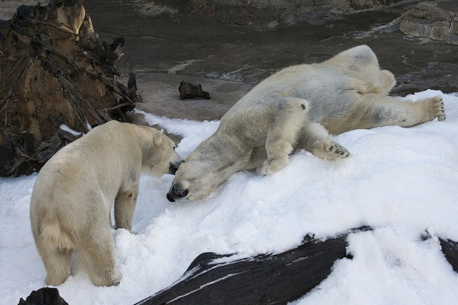 Kết quả hình ảnh cho ANIMALS Polar Bears at the San Diego Zoo See Snow for the First Time, and Their Reaction Is Priceless