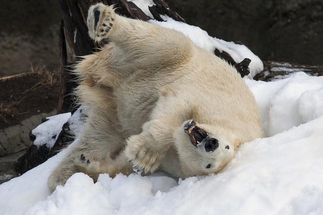 Chùm ảnh cảm động của chú gấu bắc cực tại Sở thú San Diego lần đầu tiên nhìn thấy tuyết ảnh 2