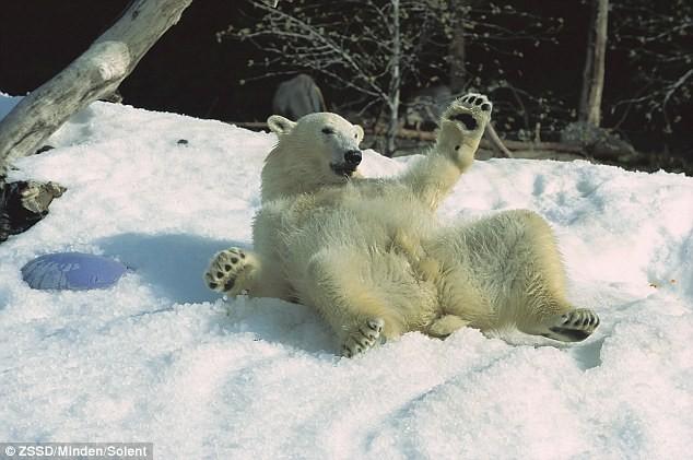 Chỗ ở: Do khí hậu nóng ở California, những người chăm sóc vườn thú ở San Diego phải làm tuyết nhân tạo cho gấu Bắc cực để thưởng thức