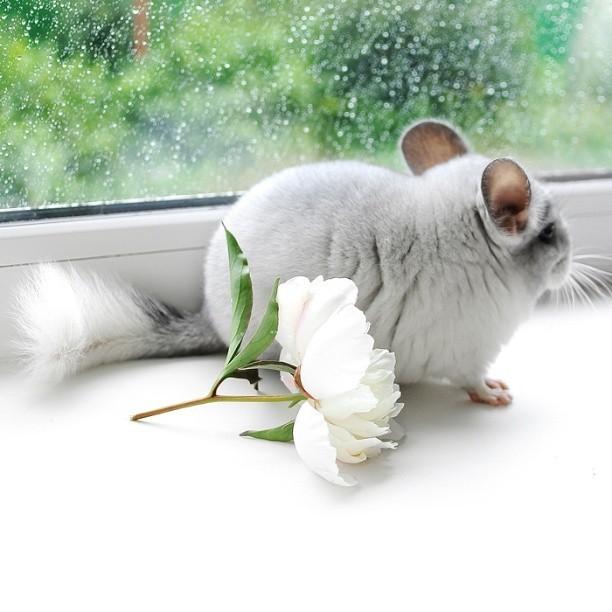 Chùm ảnh đáng yêu về loài sóc Chinchilla khiến trái tim bạn tan chảy ảnh 5