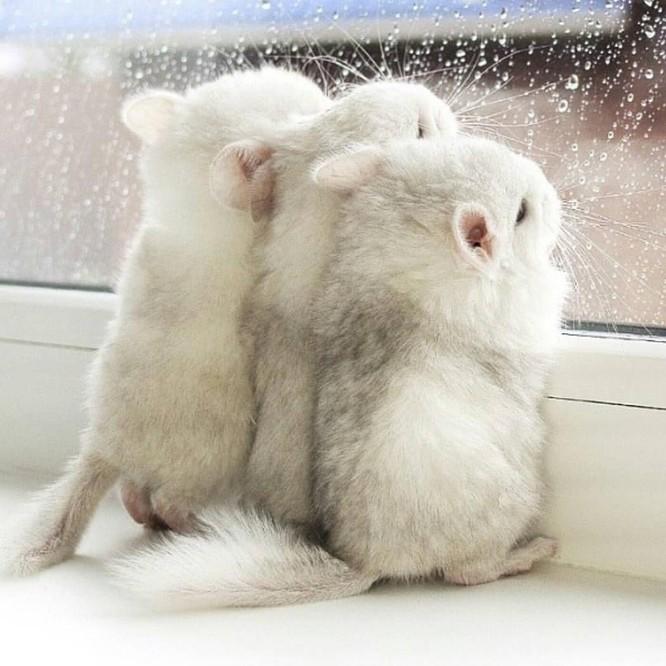 Chùm ảnh đáng yêu về loài sóc Chinchilla khiến trái tim bạn tan chảy ảnh 1