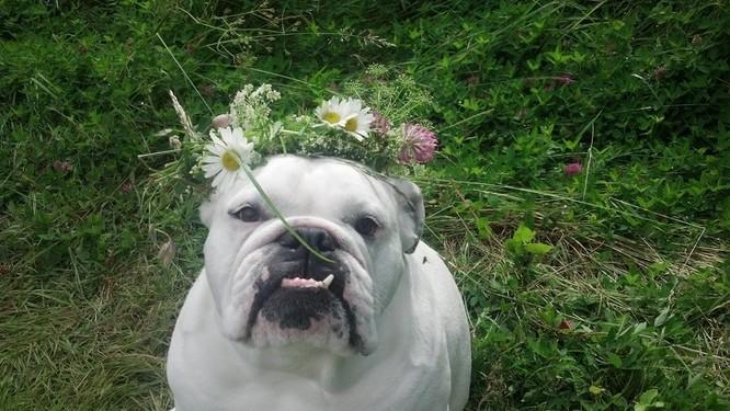 15 hình ảnh về chó Bully khiến bạn mỉm cười ảnh 14