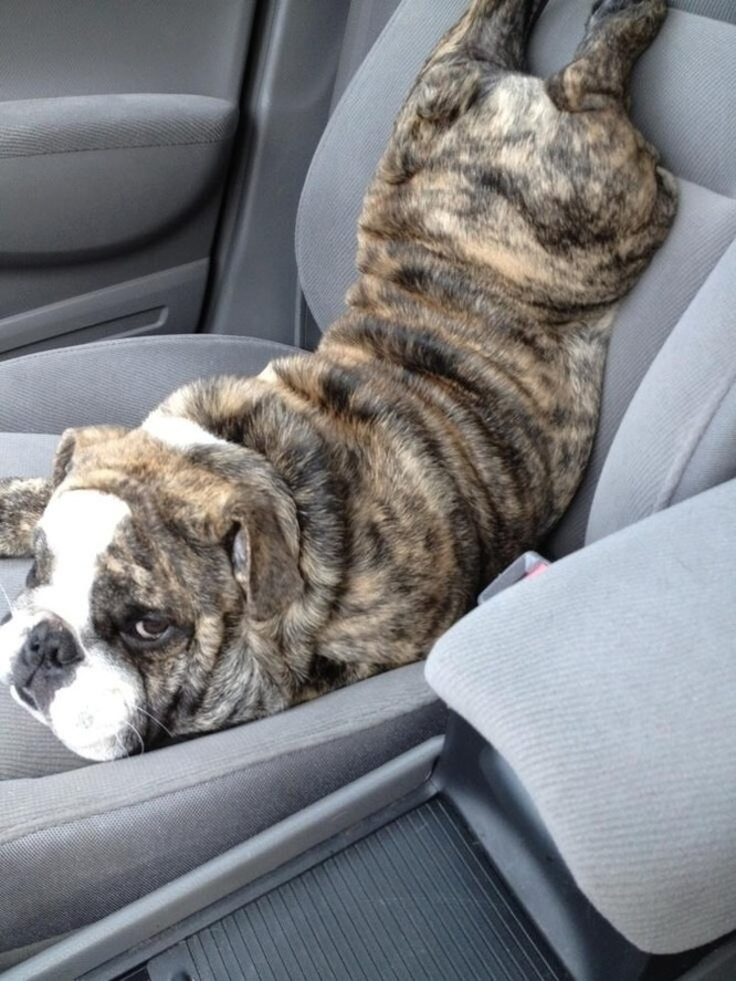 15 hình ảnh về chó Bully khiến bạn mỉm cười ảnh 13