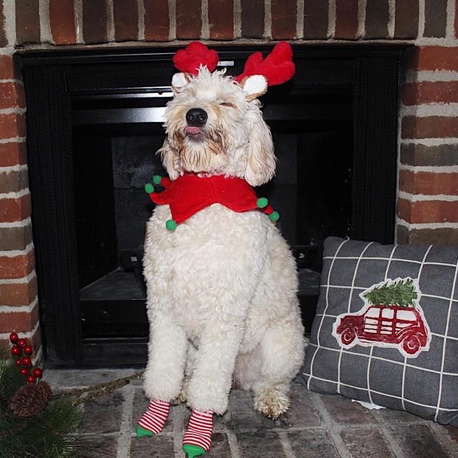 15 hình ảnh chứng minh không phải thú cưng nào cũng hào hứng với Giáng sinh ảnh 7