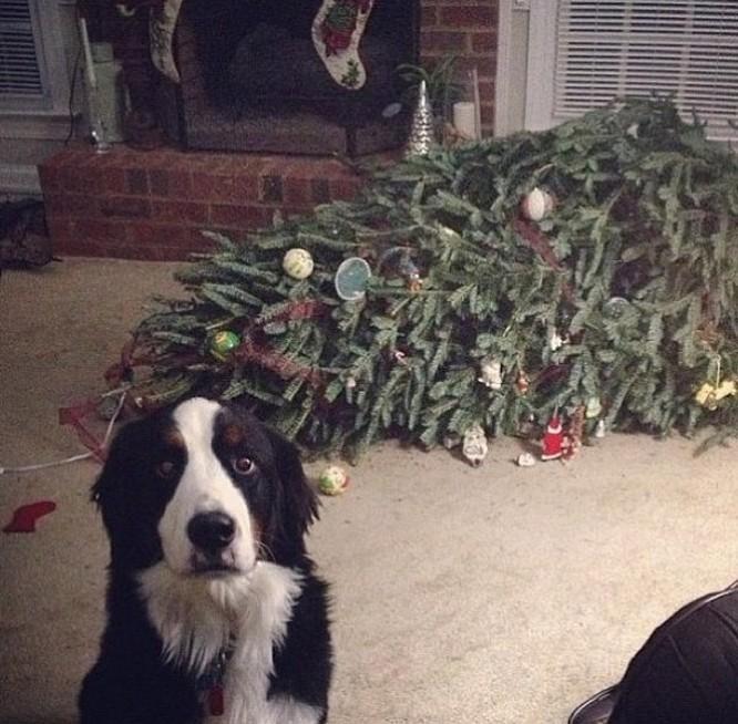 15 hình ảnh chứng minh không phải thú cưng nào cũng hào hứng với Giáng sinh ảnh 12