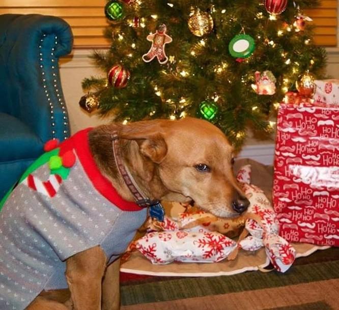 15 hình ảnh chứng minh không phải thú cưng nào cũng hào hứng với Giáng sinh ảnh 9