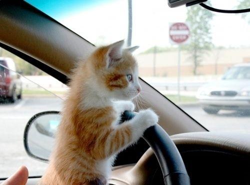 Hình ảnh tài xế mèo chuyên nghía»‡p