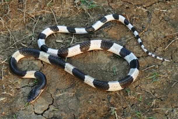 Top những loài rắn độc nhất thế giới ảnh 6