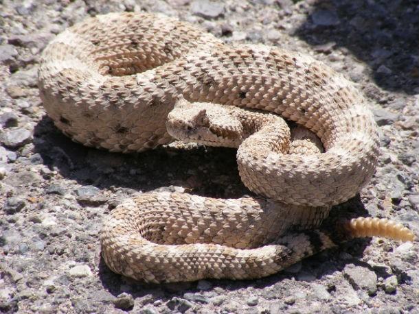 Top những loài rắn độc nhất thế giới ảnh 9