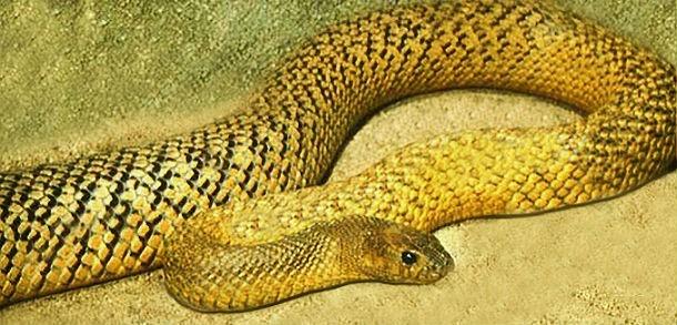 Top những loài rắn độc nhất thế giới ảnh 2