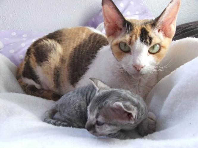 Top 10 giống mèo kỳ lạ nhất hành tinh ảnh 9