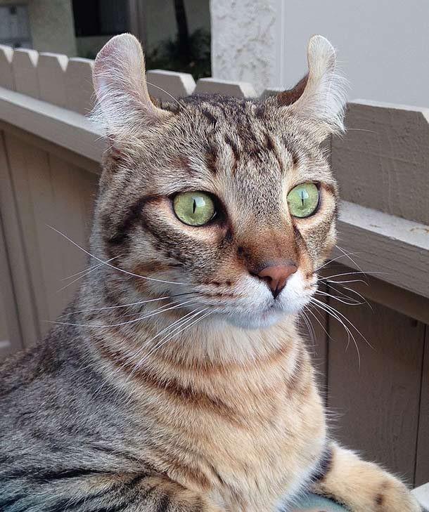 Top 10 giống mèo kỳ lạ nhất hành tinh ảnh 2
