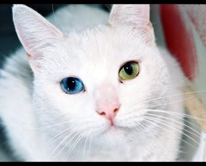 Top 10 giống mèo kỳ lạ nhất hành tinh ảnh 1