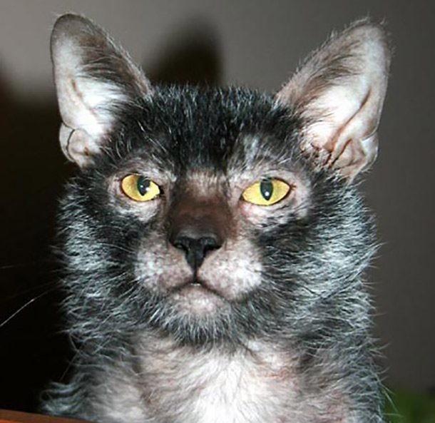 Top 10 giống mèo kỳ lạ nhất hành tinh ảnh 5