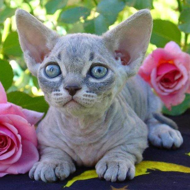 Top 10 giống mèo kỳ lạ nhất hành tinh ảnh 3