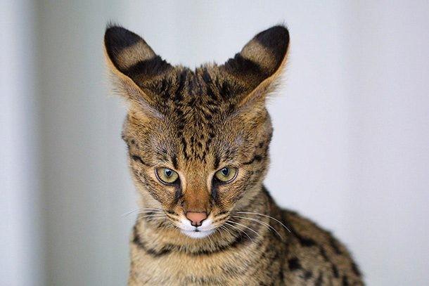 Top 10 giống mèo kỳ lạ nhất hành tinh ảnh 4