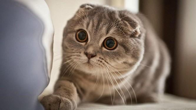 Top 10 giống mèo kỳ lạ nhất hành tinh ảnh 6