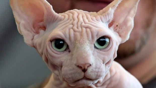 Top 10 giống mèo kỳ lạ nhất hành tinh ảnh 10