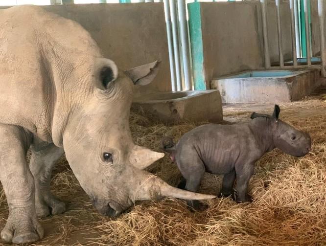 Cá thể tê giác trắng châu Phi đầu tiên chào đời tại Vinpearl Safari Phú Quốc ảnh 1