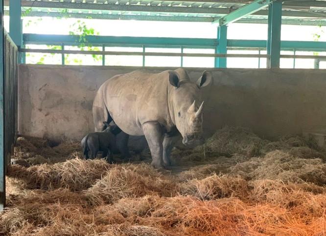 Cá thể tê giác trắng châu Phi đầu tiên chào đời tại Vinpearl Safari Phú Quốc ảnh 2