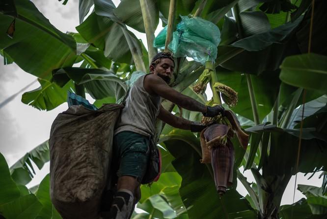 Một công nhân bọc nylon quanh cây để bảo vệ mầm hoa chuối.