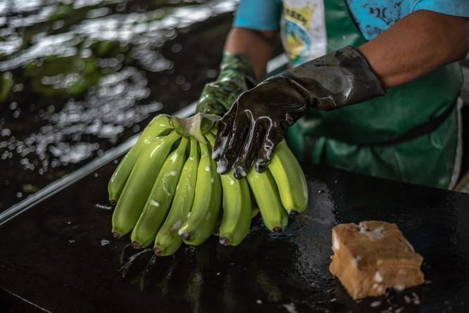 Buồng được rửa bằng tay với chất tẩy rửa để loại bỏ bất kỳ côn trùng và chất bẩn còn sót lại.