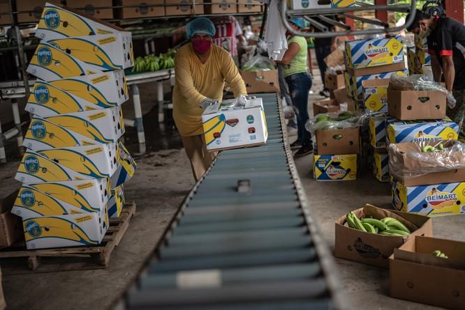 Khu vực đóng gói cho ra thị trường khoảng 6.000 đến 7.000 hộp mỗi tuần, với mỗi container có thể vận chuyển khoảng 1.100 hộp.