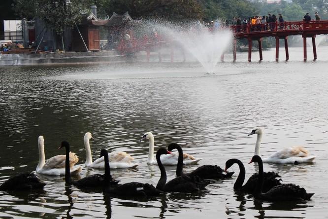 Người dân Thủ đô thích thú ngắm đàn thiên nga 12 con được thả nuôi ở Hồ Gươm ảnh 1