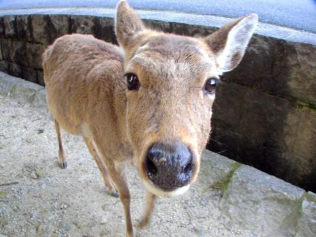 6 con hươu Nara đã chết từ năm ngoái đến nay vì bội thực rác nhựa của du khách ảnh 4
