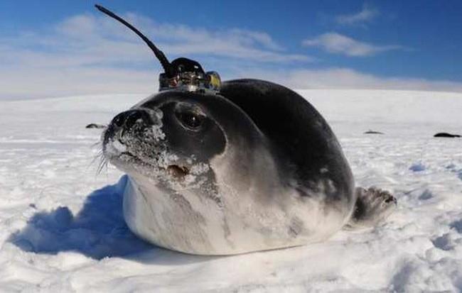 Những con hải cẩu gắn cảm biến giúp khoa học giải mã bí ẩn ở Nam Cực ảnh 1