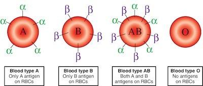 Vi khuẩn trong ruột người có thể biến máu nhóm A thành nhóm O: Tại sao đây là một đột phá quan trọng? ảnh 3