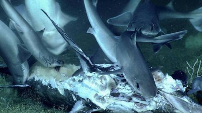 """Xem cảnh con cá mập xấu số bị một loài cá sống ở dưới đáy đại dương """"tiêu diệt"""" trong chớp nhoáng ảnh 1"""