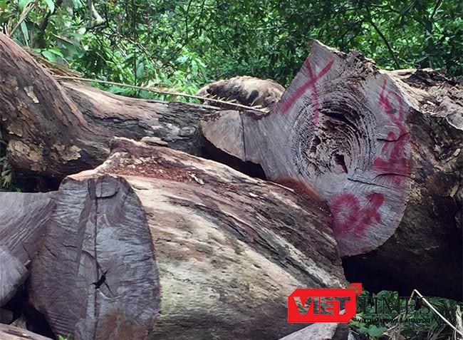 Đà Nẵng, Sơn Trà, phá rừng, Kiểm lâm, đặc dụng, VietTimes