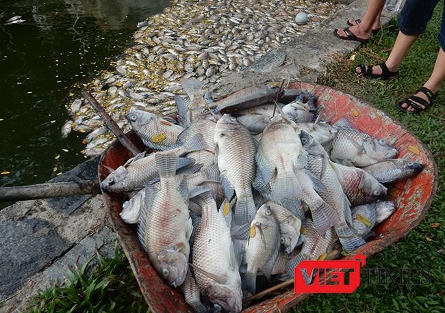 Đà Nẵng, cá chết, trắng hồ, công viên 29/3, ô nhiễm, bất thường, VietTimes