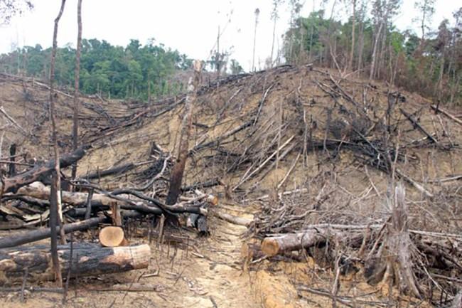 Hiện trường vụ phá rừng phòng hộ Tiên Lãnh (Tiên Phước, Quảng Nam) để trồng keo sản xuất