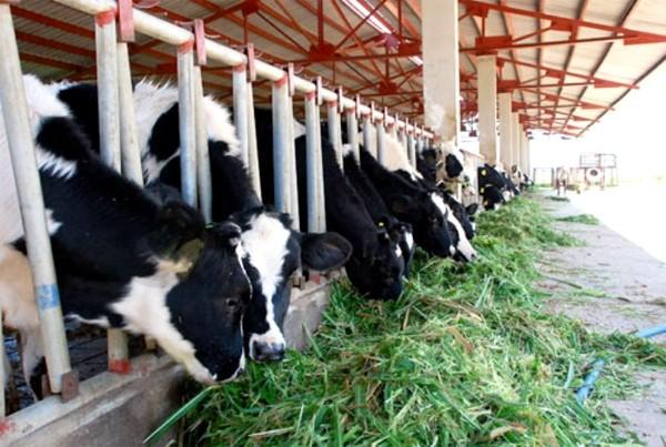 Trang trại bò sữa của bầu Đức