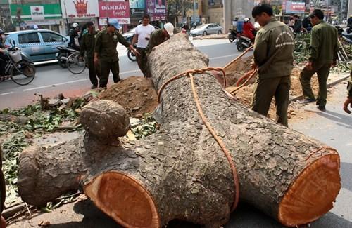 Buốt ruột khi hàng loạt cây xanh bị chặt bỏ để nhường đất cho dự án nghìn tỉ (Ảnh: VNE)