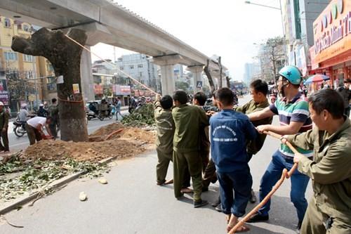 Hà Nội chỉ có kinh phí chặt hạ cây? (Ảnh: VNE)