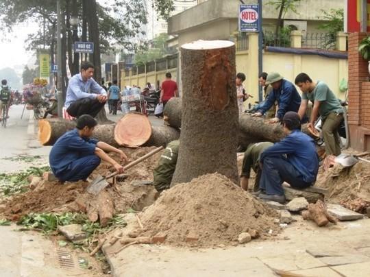 Một cây lớn bị chặt hạ nhưng gốc và thân cây không hề có dấu hiệu mục ruỗng