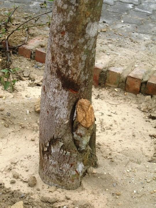 Gốc cây bị sâu mục