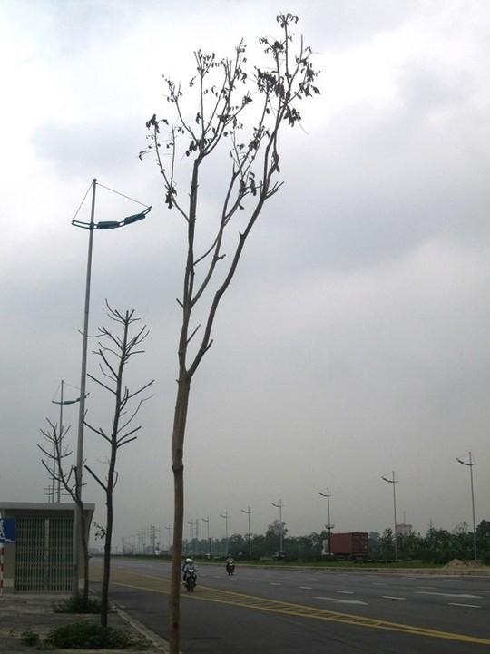 Những cây mới trồng thay thế cũng đang héo khô lá.