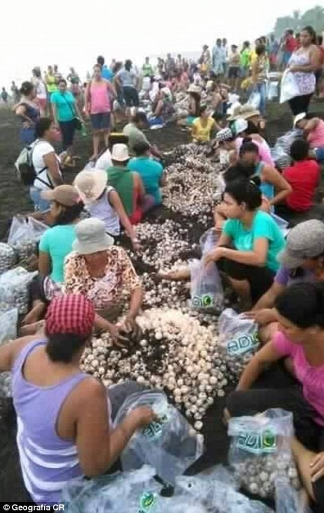 Đây là nơi duy nhất trên thế giới cho phép thu hoạch và bán trứng rùa hợp pháp, theo giới chức Costa Rica.