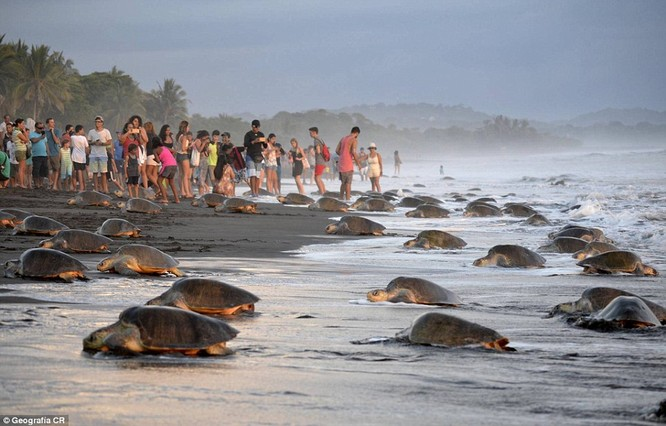 Kỳ thú hàng trăm ngàn con rùa biển lớn ùa vào bờ ảnh 2