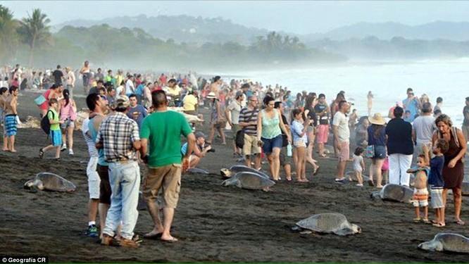 Kỳ thú hàng trăm ngàn con rùa biển lớn ùa vào bờ ảnh 4