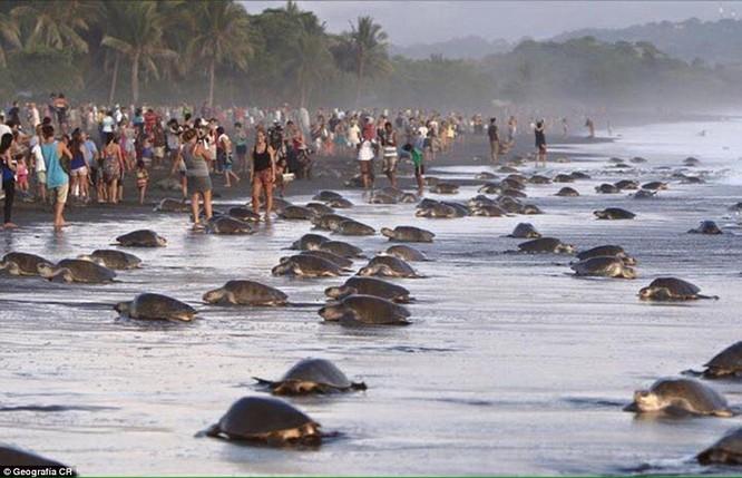 Kỳ thú hàng trăm ngàn con rùa biển lớn ùa vào bờ ảnh 5
