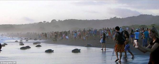 Kỳ thú hàng trăm ngàn con rùa biển lớn ùa vào bờ ảnh 6
