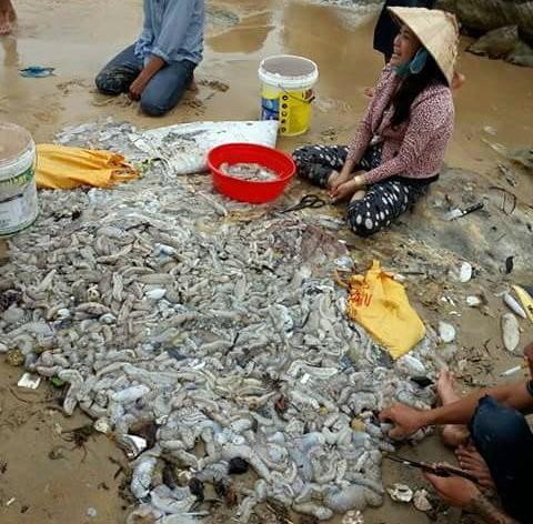 Hàng ngàn con hải sâm dạt vào Phú Quốc, nguy cơ gì? ảnh 4