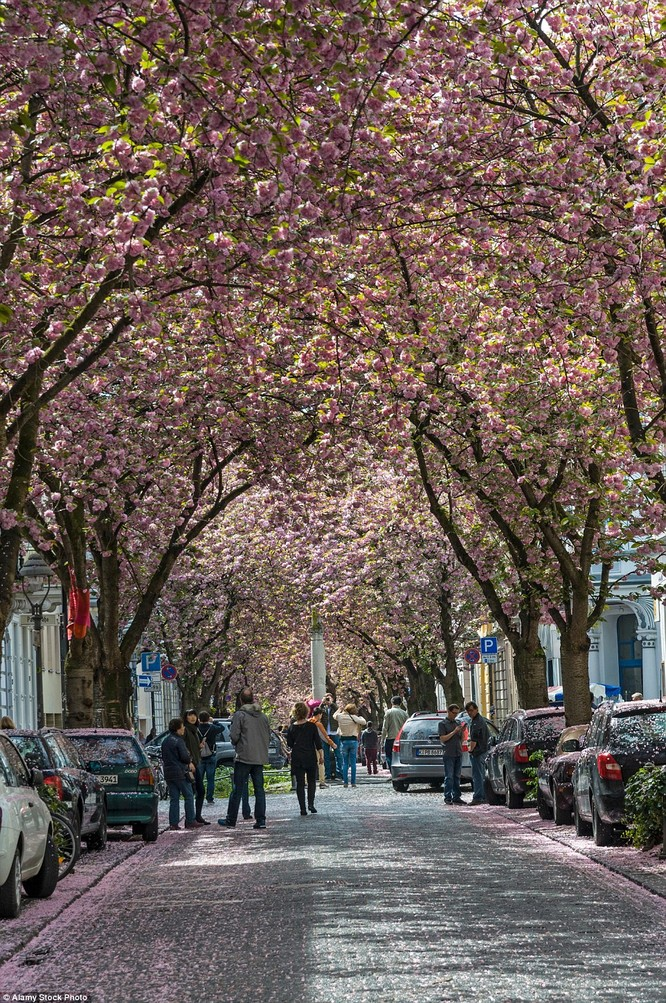 Mùa Cherry nở rộ ở Đức