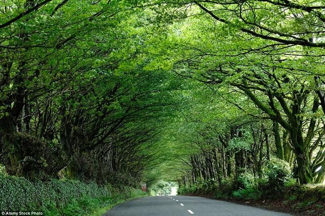 Đường hầm hình thành bởi hàng ngàn cây sồi ở Milton Abbot, Devon, Mỹ